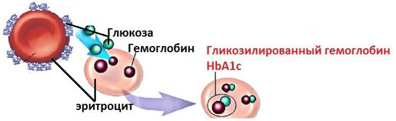 glikozilirovannyi-gemoglobin-norma-glyukoza