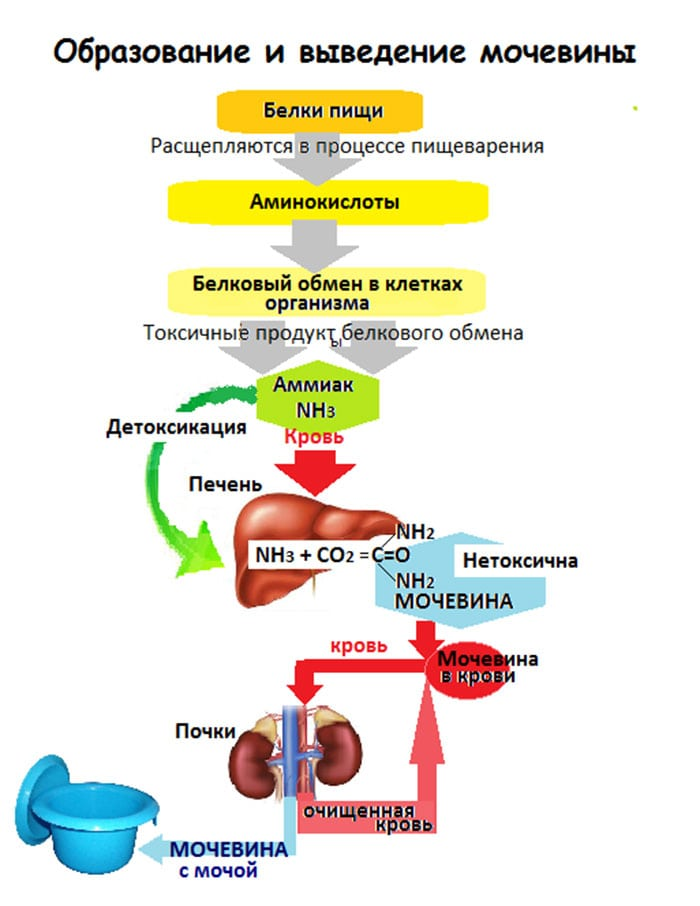 Как лечить повышенный уровень мочевины в крови