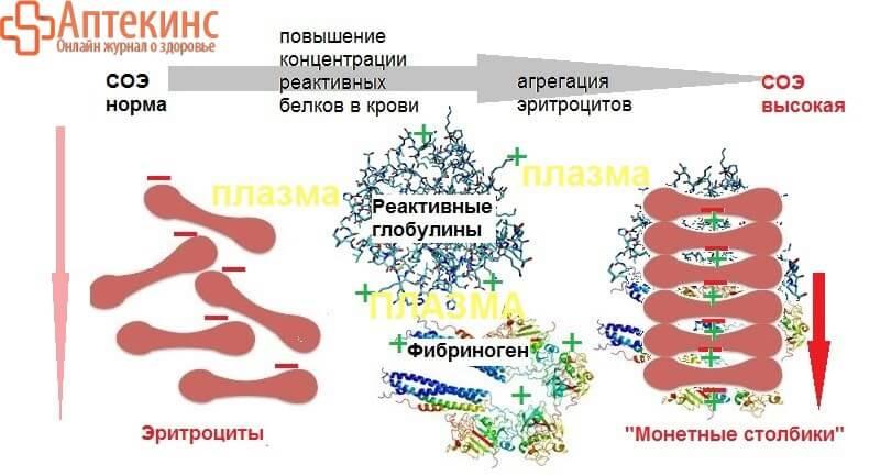 Как склеиваются эритроциты - схема