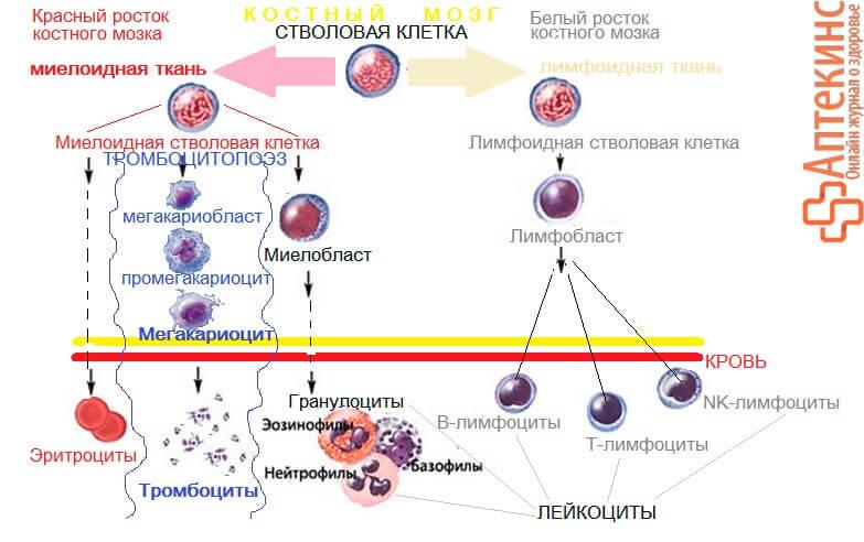 Образование PLT (тромбоцитов) в костном мозге