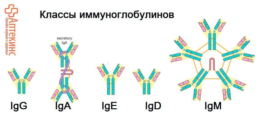 Классы иммуноглобулинов